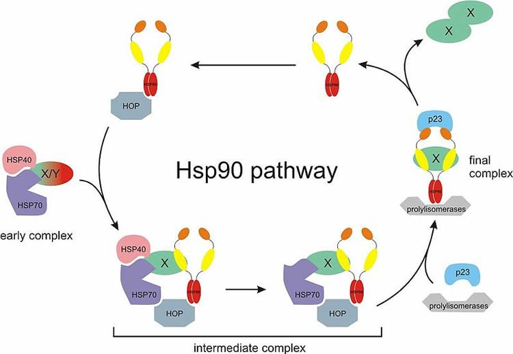 Hsp90 cancer cell metablosim public neuroscience news hsp90 is one of the most studied proteins in terms of potential cancer fighting drugs but progress has been slow this image is for illustrative purpopses ccuart Images