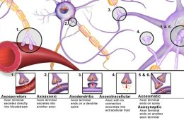 This image shows different types of synapses.