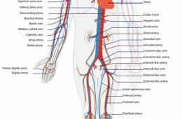 Diagram of the circulatory system.