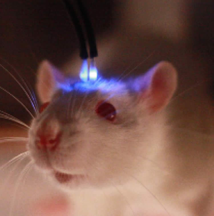 Image shows a mouse with a blue light brain shunt.
