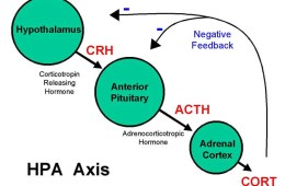 Diagram of the HPA axis.