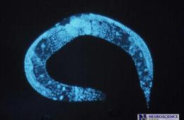 Photo of a C.elegans.