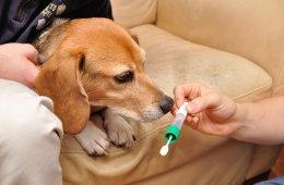 Photo of a beagle.