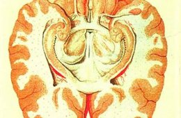 Image shows a cross section of the human brain showing parts of the limbic system from below.