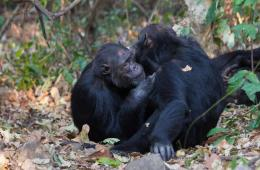 Image shows two chimps hugging.