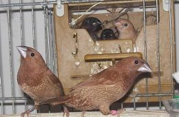 Image shows Society Finches.