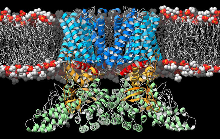 Image shows the 3d structure of TRPV2.