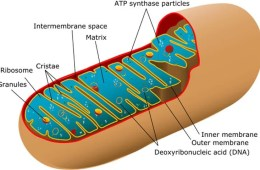 Image shows a labelled diagram of mitochondria.