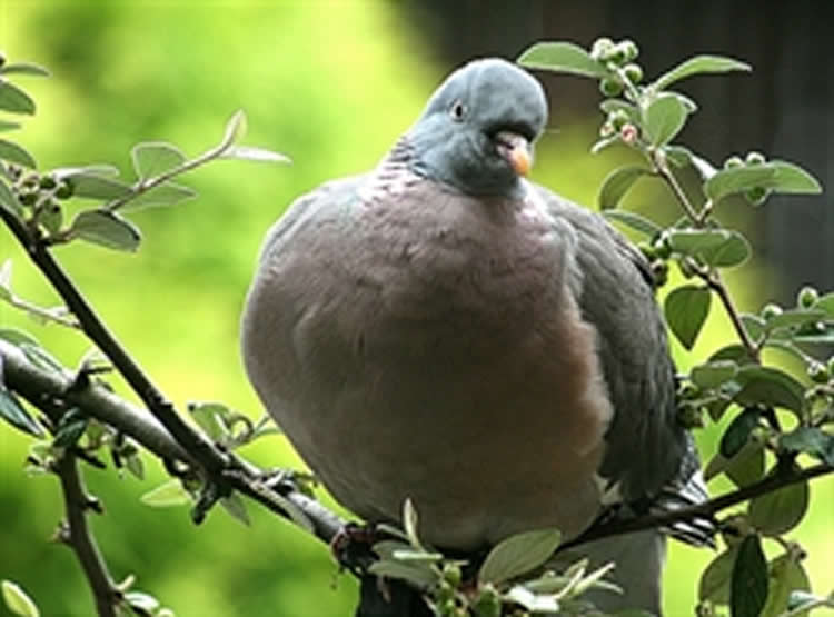 Image shows a pigeon.