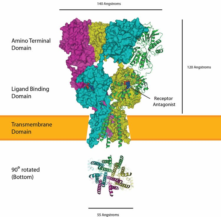 Image of an AMPA receptor.