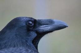 Image shows a raven.