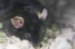 Image shows a sleepy mouse.