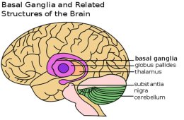 Image shows the location of the basal ganglia in the brain.