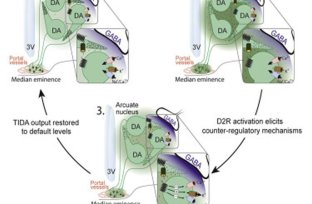 Diagram shows how spontaneous activity fluctuations increase dopamine.