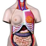 3B-Scientific-B30-24-Part-Deluxe-Dual-Gender-Human-Torso-Model-15-Length-x-98-Width-x-343-Height-0