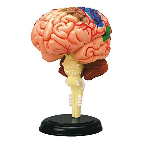 Tedco 4d Anatomy Brain Model Neuroscience News