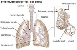Image shows a labeled diagram of the lungs.