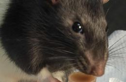 Image shows a rat drinking chocolate milk.