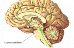 Image shows the location of the lc in the human brain.