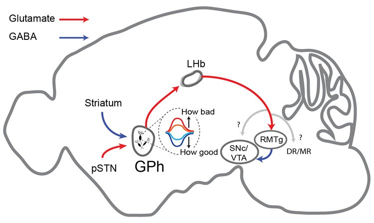 Image shows a schematic of the basal ganglia.