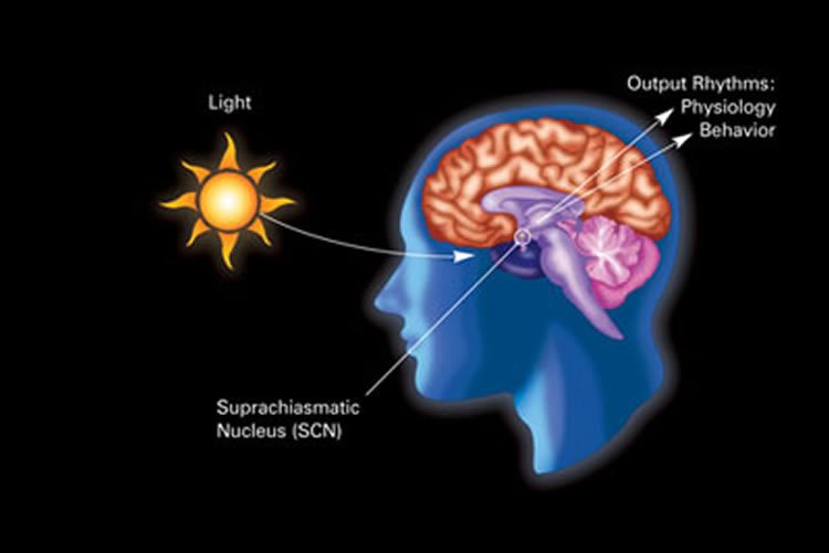 Image shows the location of the SCN in the brain.
