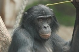 Image shows a bonobo chimp.