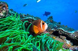 Image shows a clown fish.