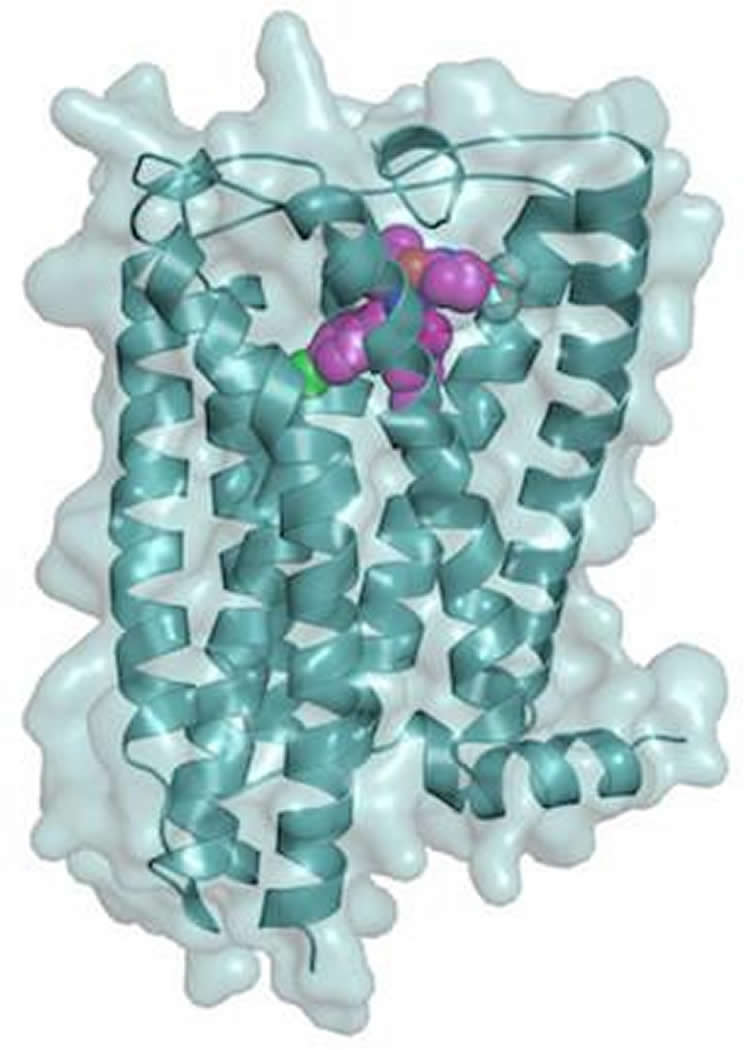 Image shows a model of the CB1 receptor.