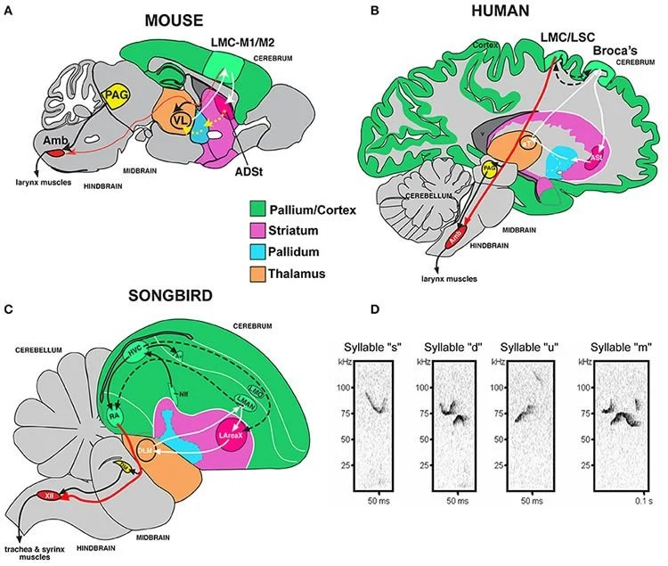 Mouse Vs Human Brain Diagram - DIY Enthusiasts Wiring Diagrams •