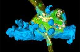 Image shows a 3d model of mossy fibers in the hippocampus.