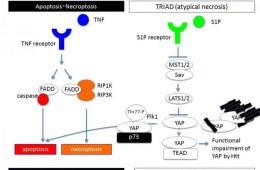 Image shows a diagram explaining apoptosis.