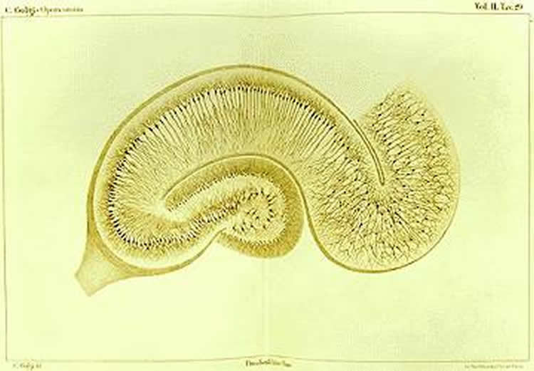 Image shows a drawing of the hippocampus.