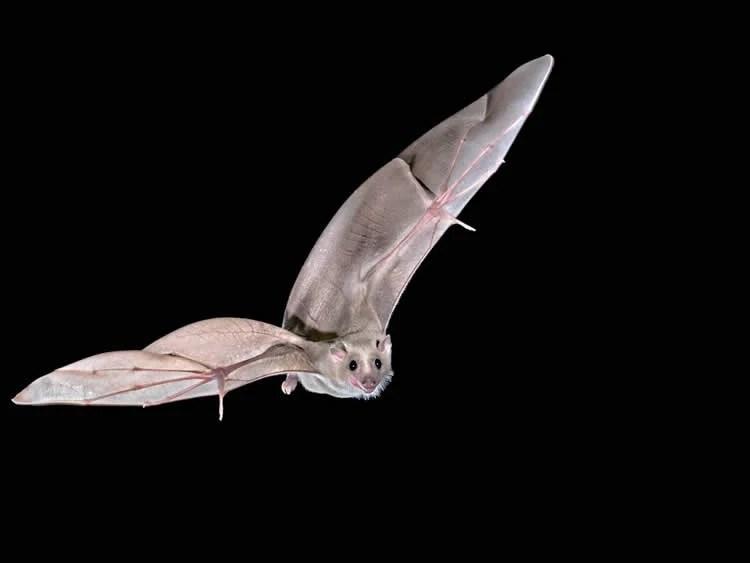 Image shows an Egyptian fruit bat.
