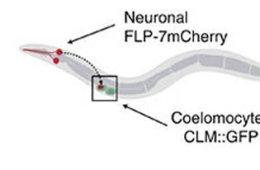Image shows a diagram of coelomocyte uptake assay for neuropeptide secretion.