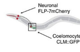 Image shows a diagram of coelomocyte uptake assay for neuropeptide secretion.