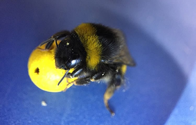 Image shows a bee holding a ball.
