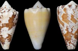 Image shows marine snail shells.