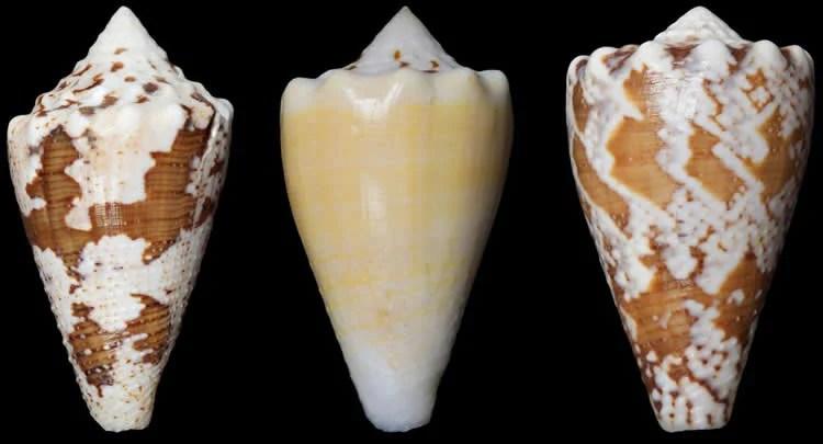 Image shows marine snail shells.