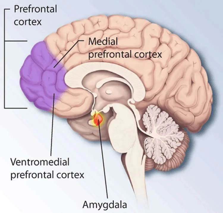 Image shows the location of the mPFC in the brain.