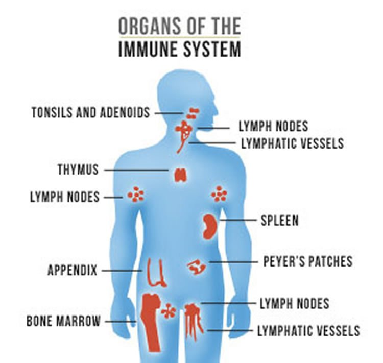 researchers find another immune system link science said didn\u0027t Diagram of Integumentary Immune System image shows a diagram of organs of the immune system