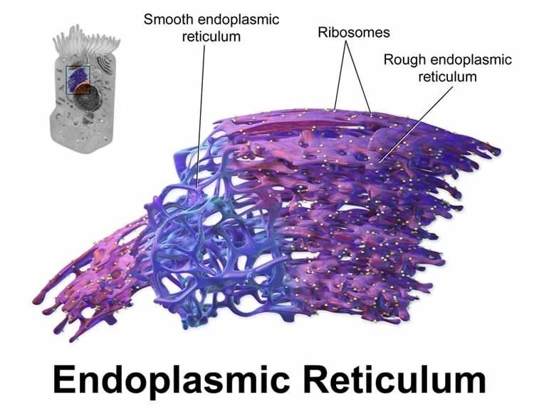 Image shows a diagram of the endoplasmic reticulum.