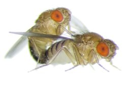 Image shows a Fruit flies mating.
