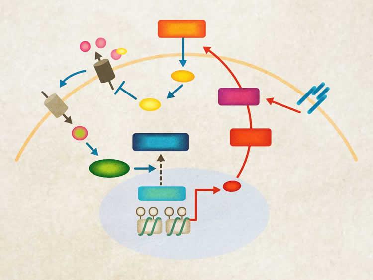 Image shows an illustration of the Baf60c-Deptor-AKT signaling pathway.