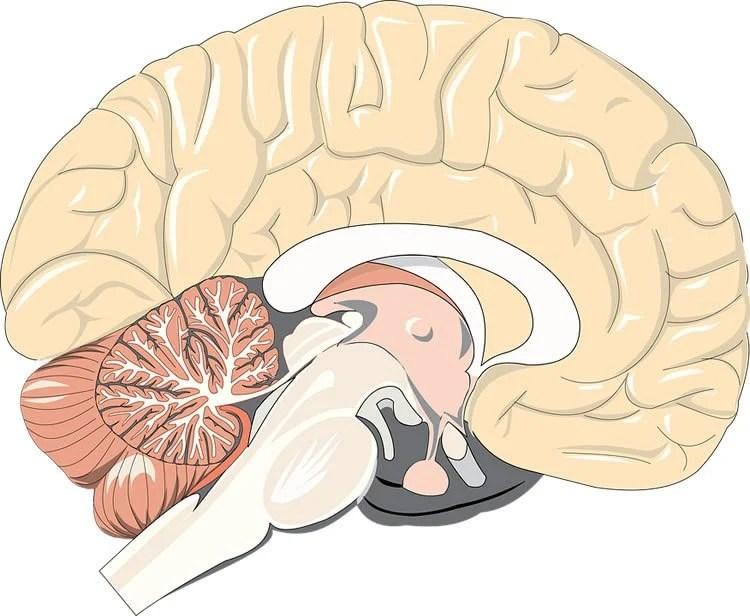 Image shows a cartoon of a brain.