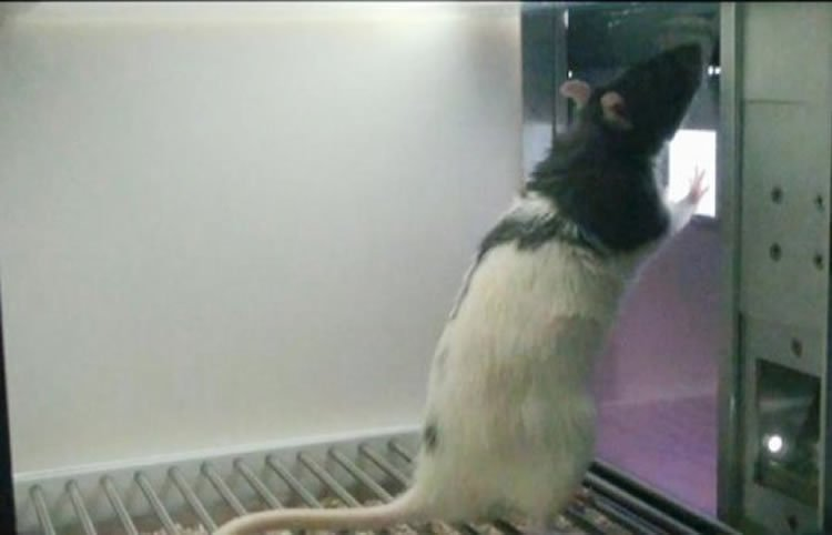 Image shows a rat.