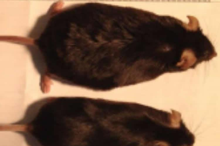 Image shows a fat mouse and a thin mouse.