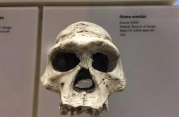 Image shows the skull of Homo erectus.