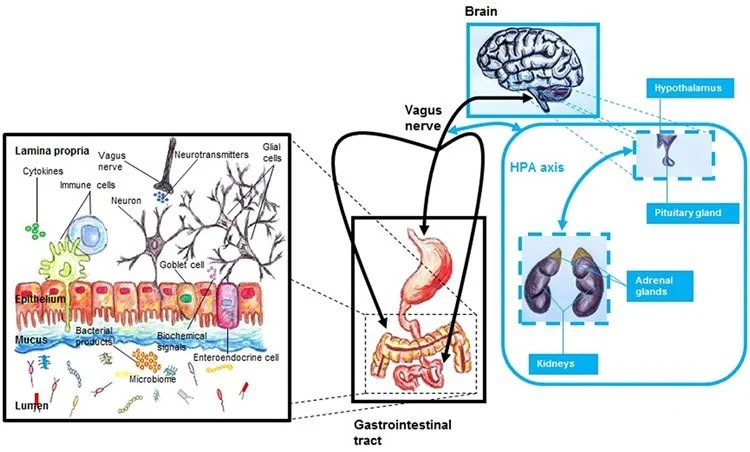 Linking Mental Health And The Gut Microbiome Neuroscience News