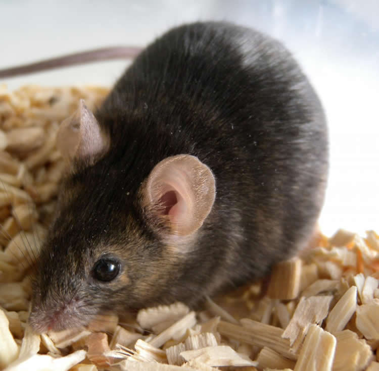 Image shows a mouse.