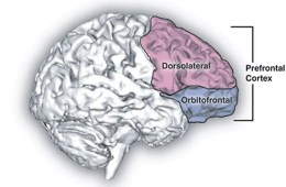 the location of the OFC in the brain.